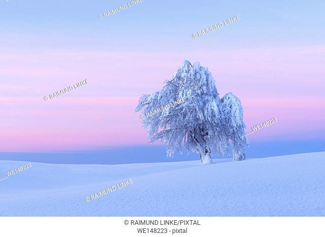 Snow covered beech tree, Winbuche, at dawn, Winter, Schauinsland, Black Forest, Freiburg im Breisgau, Baden Wurttemberg, Germany