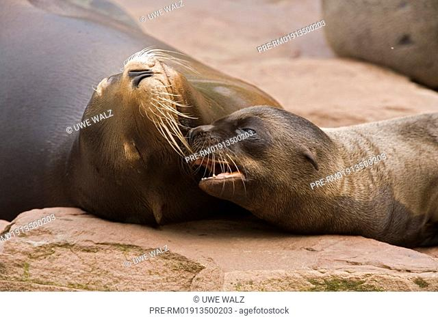 Californian Sea Lion , Zalophus californianus