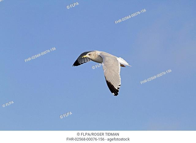 Ring-billed Gull (Larus delawarensis) adult, winter plumage, vagrant, in flight, Northern Ireland, February