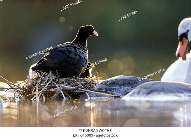 Coot with chick on nest, Fulica atra, Bavaria, Germany