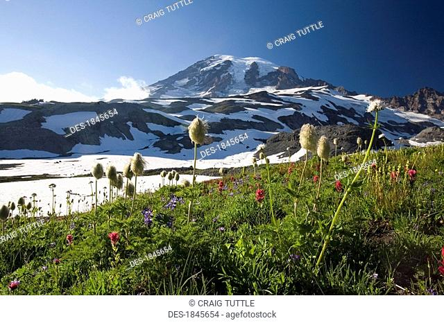 Meadow with blooming flowers, Mt. Rainier in background, Mt Rainier National Park, Washington State, USA