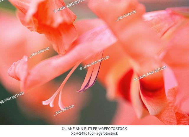 elegant hardy gladiolus nanus nathalie, arching spikes of pink blooms