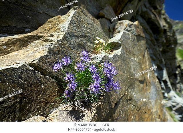 Campanula, the Engadine, Berninapass, Phyteuma hedraianthifolium, rapunzel, Rätische rapunzel, blossom, flower, flower plant, Campanulaceae, nightmare plant