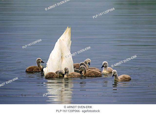 Mute swan (Cygnus olor) feeding upside down with young / cygnets in lake in spring