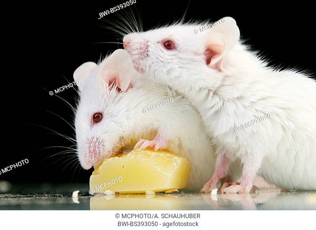 house mouse (Mus musculus), two white mice eating a little piece of cheese
