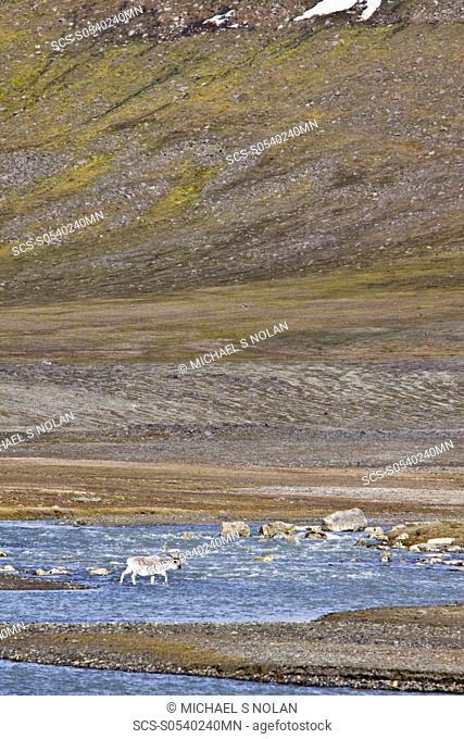 Svalbard reindeer Rangifer tarandus platyrhynchus on the tundra in Habenichtbutka, Edge¯ya Island in the Svalbard Archipelago