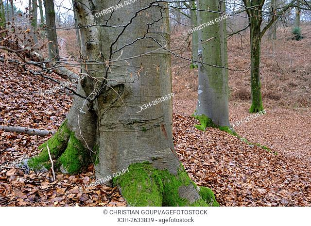 beech grove in the Forest of Rambouillet or Forest of Yveline, Yvelines department, Ile-de-France region, France, Europe