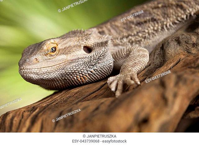 Pet dragon black Stock Photos and Images | age fotostock