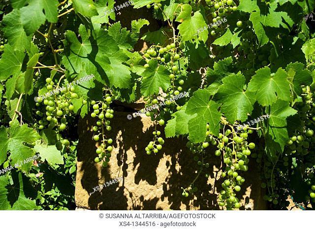 Grapevine of white grape, with clusters, before of mature. Vitis vinifera. Vitaceae