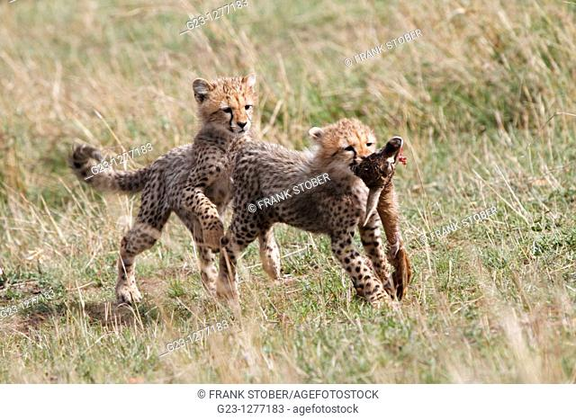 Cheetahs in Kenya