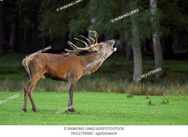 Red deer, Cervus elaphus, Male, in Rutting Season, Hesse, Germany