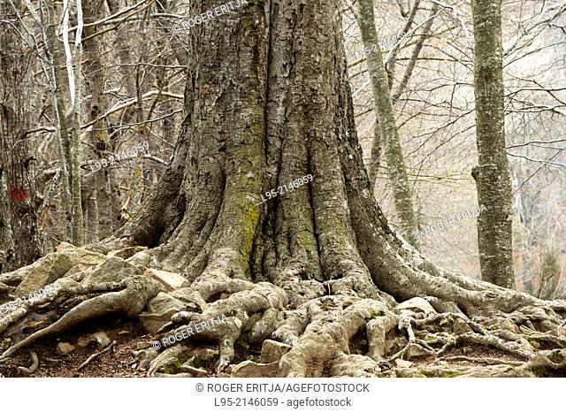 Creviced bark, old roots from trees in the Montseny natural park, Spain