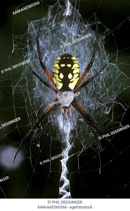 Golden Garden Spider female (Argiope aurantia)