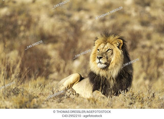 Lion (Panthera leo). Black-maned Kalahari male. Resting. Kalahari Desert, Kgalagadi Transfrontier Park, South Africa