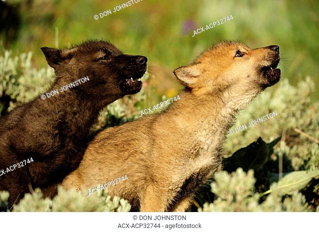 Gray wolf Canis lupus pups howling. Captive animal