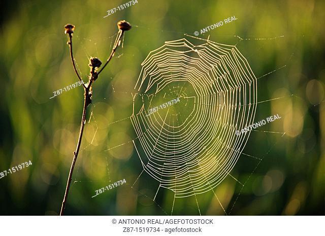 Spider web, Almansa, Albacete province, Castilla-La Mancha, Spain