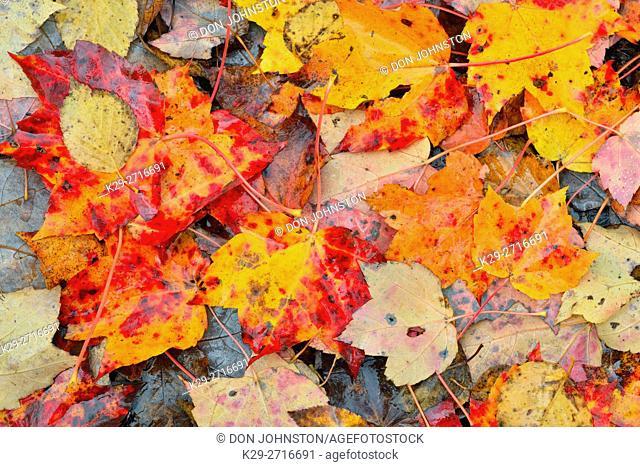 Fallen autumn maple leaves at Lake Laurentian Conservation Area. Greater Sudbury, Ontario, Canada