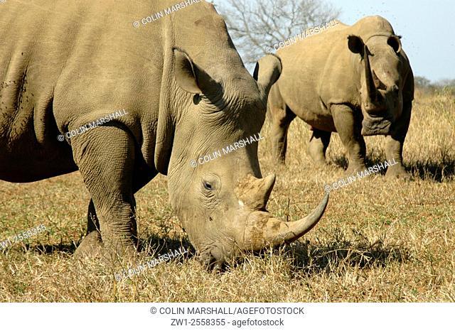 White Rhinocerouses (Ceratotherium simum) pair, Umfolozi Game Reserve, South Africa