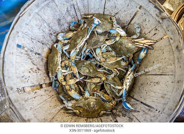 Bushel of freshly caught Chesapeake blue crabs in basket, Dundalk, Maryland. USA