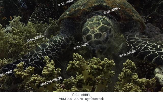 Hawksbill turtle Eretmochelys imbricata. Endangered species. feeding. Red Sea