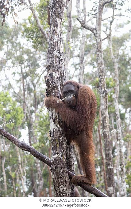 Asia, Indonesia, Borneo, Tanjung Puting National Park, Bornean orangutan (Pongo pygmaeus pygmaeus), under the tropical rain