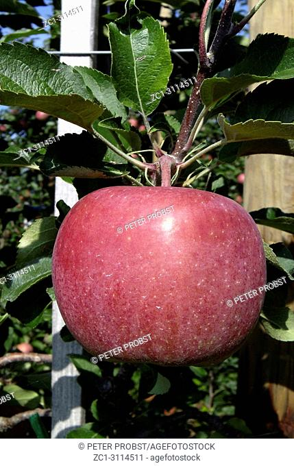 Harvest ripe apple of the sort Jonagold in the fruit cultivation area Nonnenhorn at the Lake constance - Germany