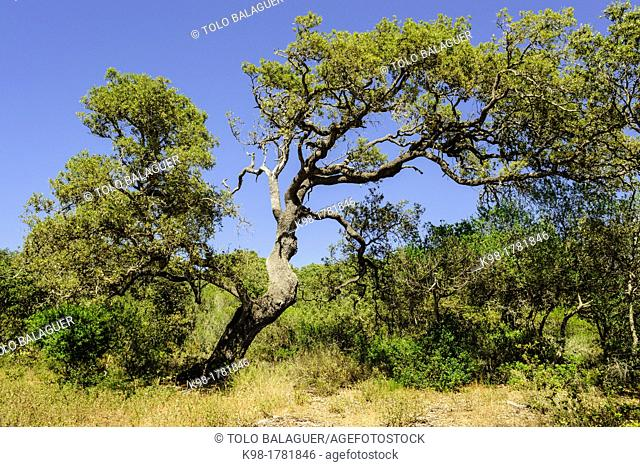 Oaks - Quercus ilex-, Alfuri, Menorca, Balearic Islands, Spain