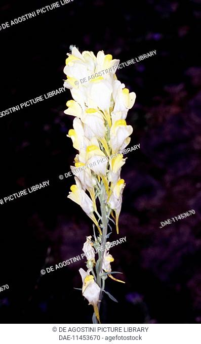 Common toadflax, Yellow toadflax, or Butter-and-eggs (Linaria vulgaris), Scrophulariaceae