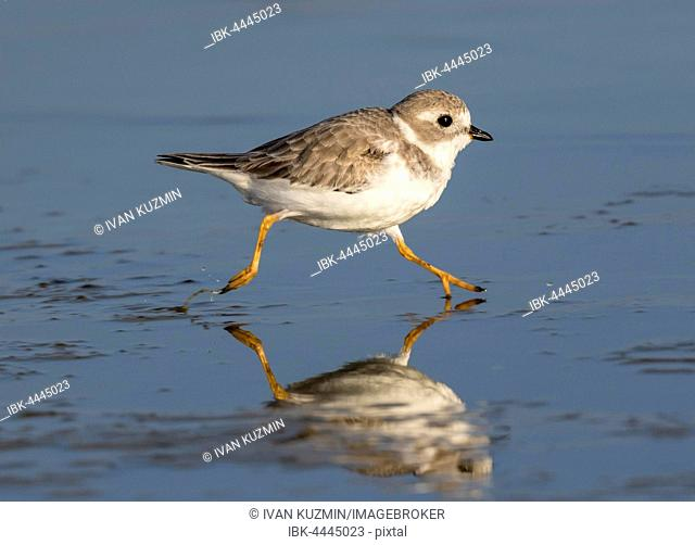 Piping plover (Charadrius melodus) in winter plumage running along shallow water, Galveston, Texas, USA