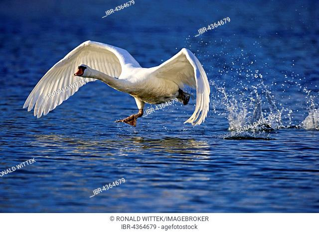 Mute swan (Cygnus olor) taking flight from water, Germany