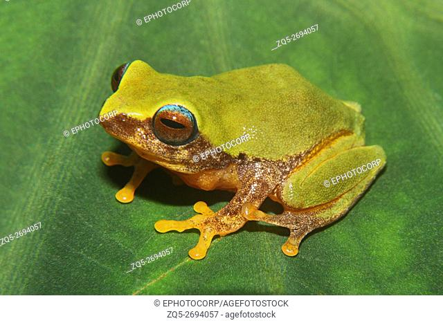 Name: Bush Frog (Raorcastes sp. ) Location: Coorg, Karnataka