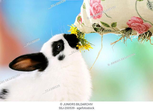 Netherland Dwarf Rabbit eating Dandelion and hay from a cloth bag. Germany