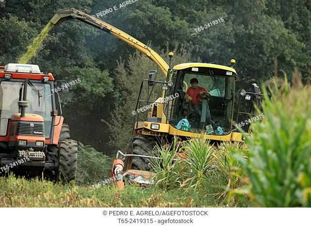 In a field of cereal, in the region of Ulloa in Palas de Rei, Lugo. Two machines work alongside, a tractor-trailer, carrying corn and a chopper or corn...