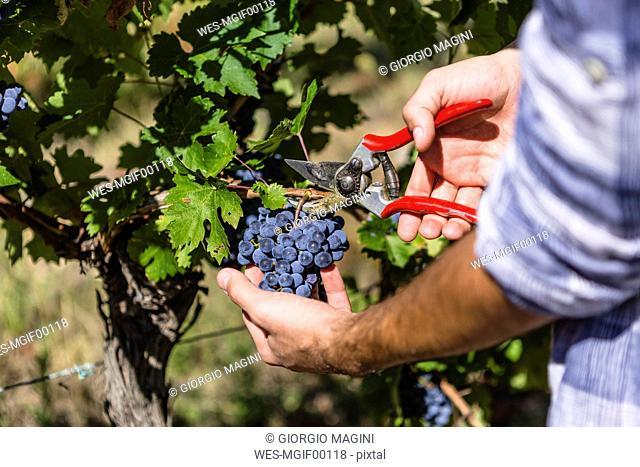 Close-up of man harvesting grapes in vineyard