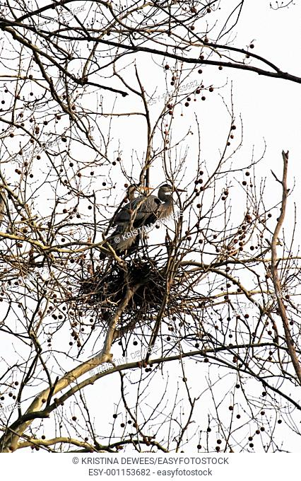 Two Great Blue Herons at their nest