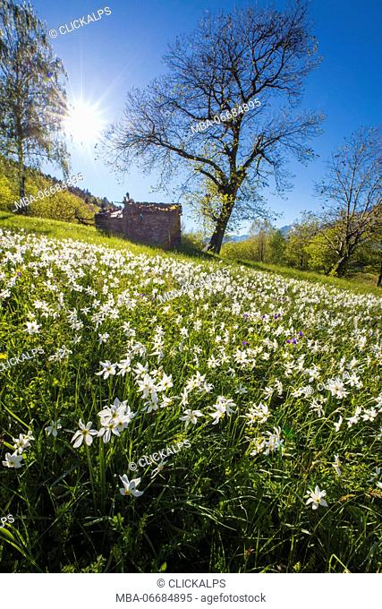 Spring bloom of daffodils in the green meadows of the Orobie Alps Dossa province of Sondrio Valtellina Lombardy italy Europe