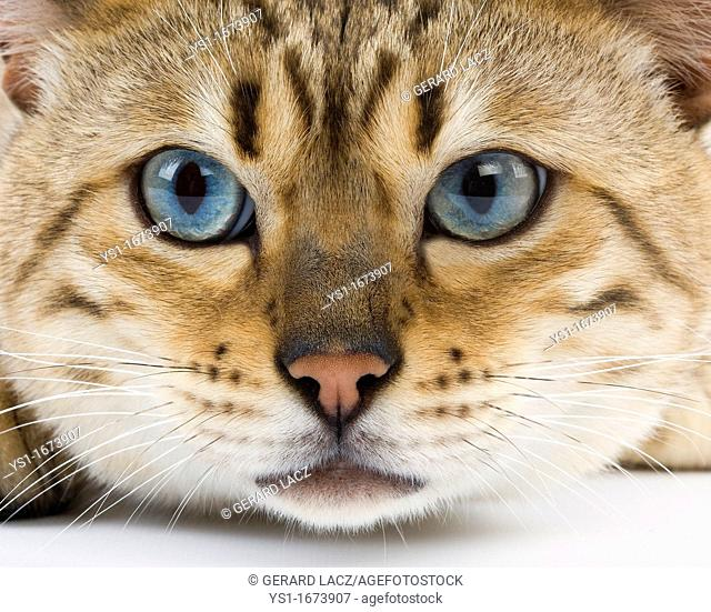 Seal Mink Tabby Bengal Domestic Cat, Portrait of Male with Blue Eyes