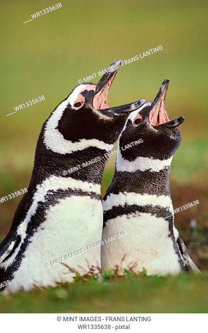 Magellanic penguins calling, Spheniscus magellanicus, Falkland Islands
