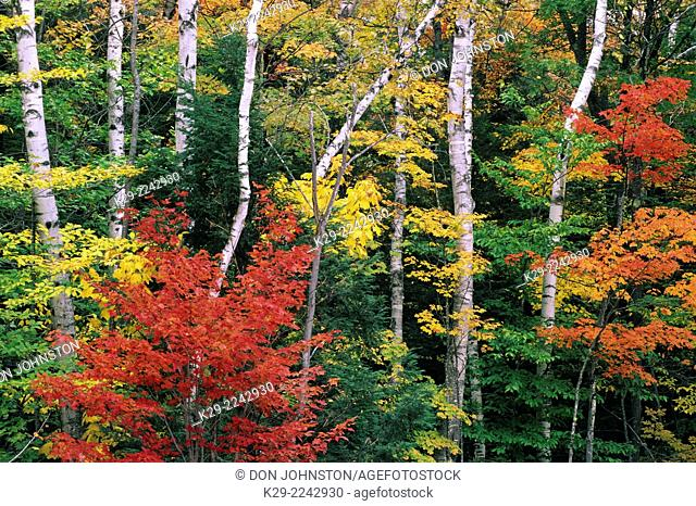 Autumn maples and birch trees, Bartlett, New Hampshire, USA