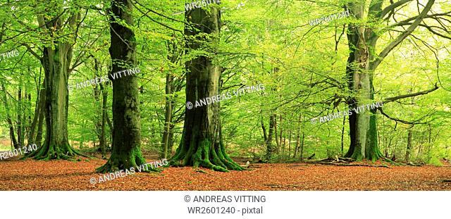 Huge old beeches in a former pastoral forest, Sababurg or Reinhardswald Forest, Hesse, Germany