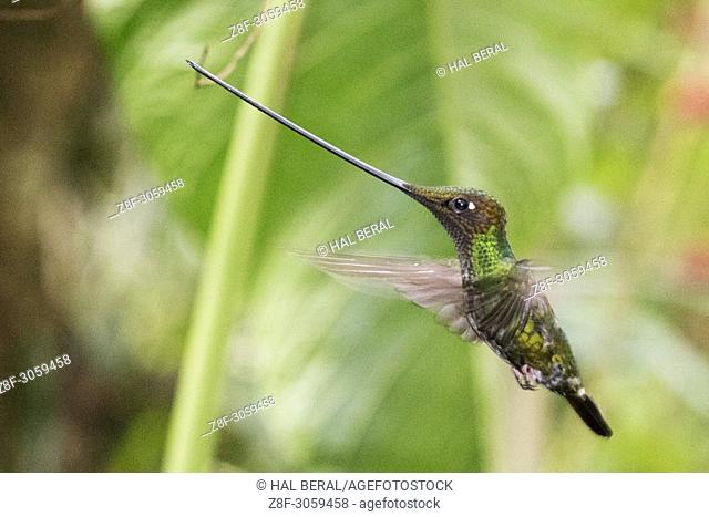 Sword-Billed Hummingbird male flying (Ensifera ensifera). Ecuador