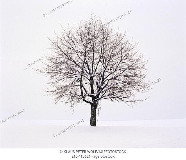 Snow covered apple tree