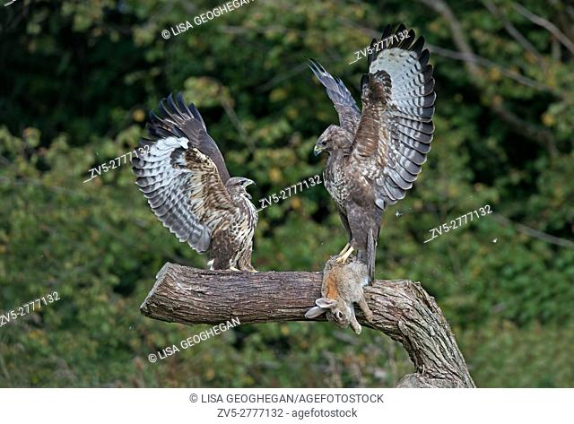 Pair of Buzzards- Buteo buteo display aggression over prey. Autumn. Uk