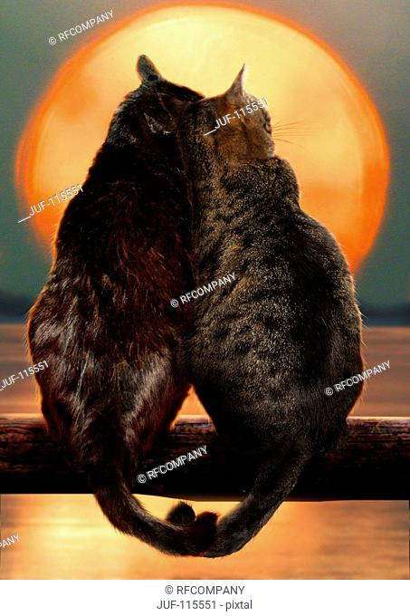 two domestic cats - sunset