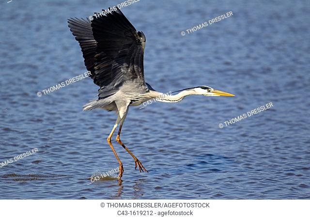 Grey Heron Ardea cinerea - The heron is going to land on the back of a hippopotamus Hippopotamus amphibius in order to use it as a base for hunting fish in the...