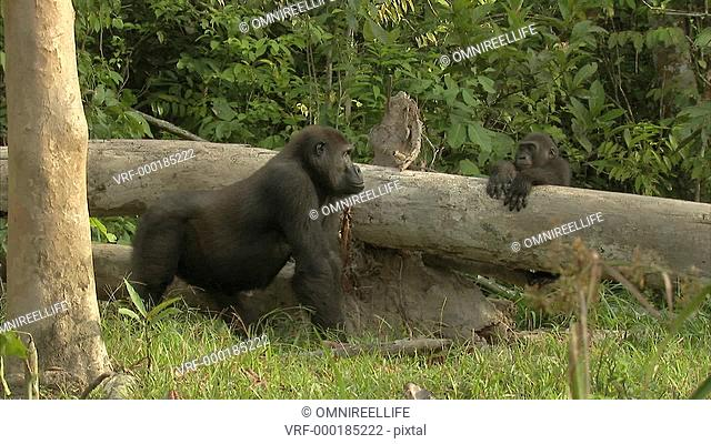 Two Western Lowland Gorillas in forest area with one sitting on log of tree