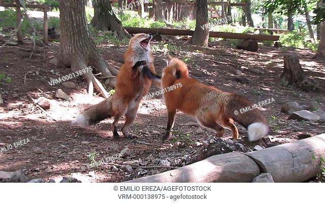Foxes fighting at Kitsune mura (Fox Village), Shiroishi, Miyagi Prefecture