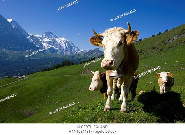 Switzerland, Europe, Bernese Oberland, Mountain, Mountains, Alps, Alpine, Canton Bern, Berne, Summer, Bussalp, above G