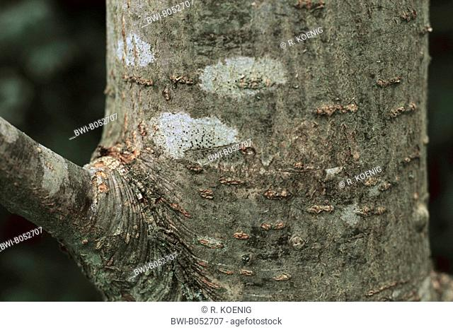 American mountain-ash (Sorbus americana, Pyrus americana), trunk with branch