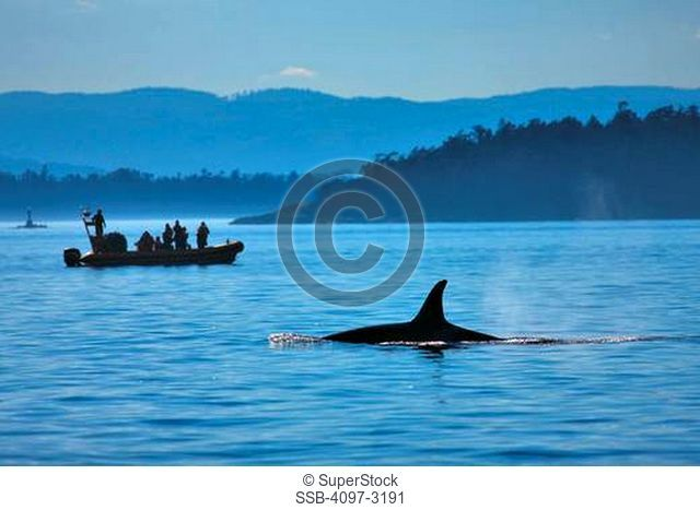 Killer whale Orcinus orca with whale watching boat in an ocean, Strait Of Juan De Fuca, Victoria, Vancouver Island, British Columbia, Canada